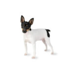 Petland Henderson, NV Toy Fox Terrier